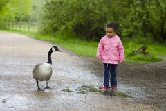 Girl and goose. A little girl confronts a Canada goose over a puddle Stock Photography