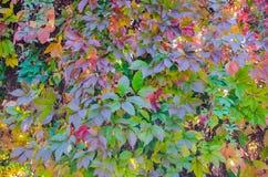 Girlish grapes on backlit trellis royalty free stock photos