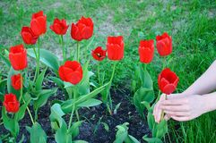 The girl grows red tulips in flower garden royalty free stock photo