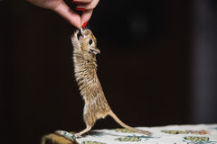 Girl hand-feed the gerbil mouse seeds and grain. Mice snatches seed. Royalty Free Stock Image