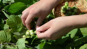 Girl hand gather ripe hazel nutwood nuts wicker wood dish stock video footage