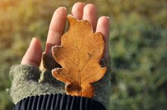 Girl hand holding a Autumn oak leaf covered with ice in hands royalty free stock photos