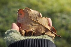 Girl hand holding a Autumn oak leaf covered with ice in hands royalty free stock photo