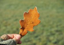 Girl hand holding a Autumn oak leaf covered with ice in hands stock images
