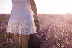 Girl hand holding a bouquet of fresh lavender in lavender field. Gathering a bouquet of lavender. Girl in white dress hand holding a bouquet of fresh lavender in Stock Image