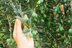 Girl hand holding green young Olive in garden royalty free stock photography