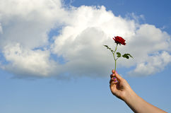 Girl hand holding red rose Royalty Free Stock Photo