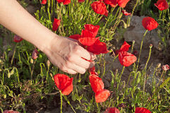 Girl hand holding some poppies Royalty Free Stock Images