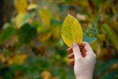 Girl hand holding a yellow leave with forest stock photos