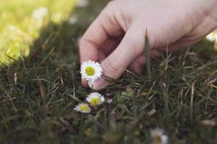 Girl hand holds daisy flower Royalty Free Stock Photos