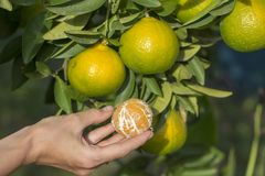 Girl hand holds a peeled orange against a background of green tree leaves and the ripening fruit. In garden, close up. Turkey Royalty Free Stock Image
