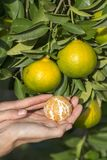 Girl hand holds a peeled orange against a background of green tree leaves and the ripening fruit. In garden, close up. Turkey Royalty Free Stock Photography