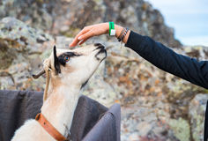 Girl hand that stroked the goat Stock Photo