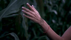 Girl hand touches corn. Girl walks through a corn field. A young girl walks through a field of corn and touches the corn with her hand. The camera moves behind stock video footage