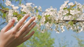 Touching the apple tree branches swaying in the wind in the garden. Girl hand touching the beautiful little white flowers of blossoming apple tree in the garden stock video
