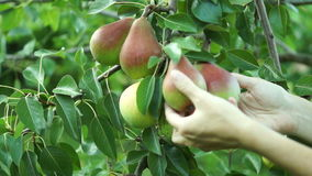 Girl Hand Verify Pear Fruit On Tree In August And Picking One stock video footage