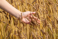 Girl hand in wheat field. Woman's hand slide threw the golden wheat field Stock Image