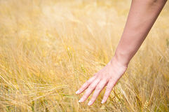 Girl hand in wheat field Royalty Free Stock Photos