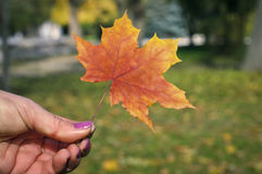 The girl in the hands holding an autumn maple leaf Royalty Free Stock Photography