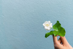 A girl hands holding white jasmine flowers royalty free stock photography