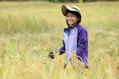 Girl harvesting rice Stock Images