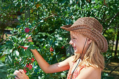 Girl in hat harvests plums Royalty Free Stock Photography