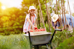 Girl Helping In Picking Tomatoes Stock Image