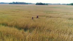 The girl and her baby are walking through a wheat field. Shooting from a drone. Leisure and entertainment in the open stock footage