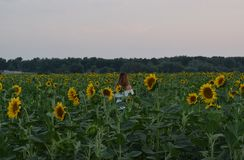 A girl with her hair standing in the middle of a field with sunflowers. royalty free stock photo