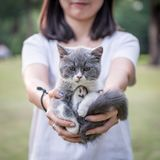 The girl with her hands in a gray kitten Stock Images
