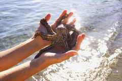 Girl hold an octopus. A view of a girl holding a small octopus in her hands with water along the shore in the background Royalty Free Stock Photo