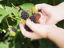Girl holding black raspberries Stock Images