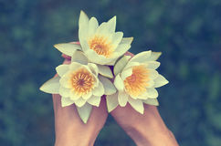 Girl holding a bunch of water lilies. The concept of beauty and purity of nature. three white water lilies. With yellow world-renowned place Stock Photography