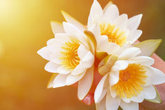 Girl holding a bunch of water lilies. The concept of beauty and purity of nature. Three white water lilies with yellow world-renowned place Stock Image