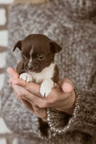 Girl holding a chihuahua puppy Stock Photography