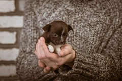Girl holding a chihuahua puppy Royalty Free Stock Photo