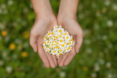 Girl holding a daisy in his hand. Camomile in the hands of women Royalty Free Stock Photography