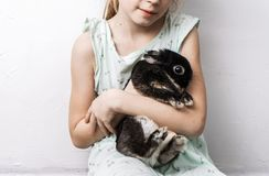 The girl is holding a dwarf Dutch rabbit of black color with burns. royalty free stock photo