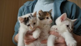 The girl is holding 3 fluffy white kittens. Kittens are very funny and beautiful. stock footage