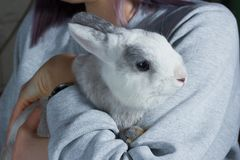 A girl holding on hands a cute white grey rabbit stock photos