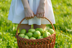 Girl holding harvested apples in a wicker basket. royalty free stock image