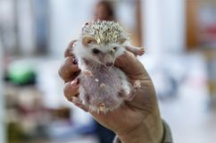Girl holding hedgehog Royalty Free Stock Images