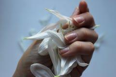 White petals of chrysantemum stock image