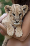 Girl holding little lion cub in her arms Royalty Free Stock Photos