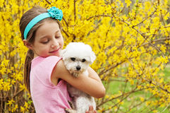 Girl holding Maltese dog by Forsythia bush Stock Images