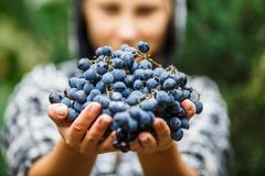 Girl holding and offering a bunch of ripe grapes royalty free stock photos