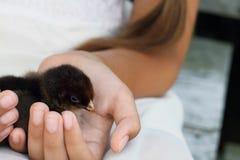 Girl Holding a Partidge Chick Stock Photos