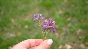 Girl holding a small field flower in her hand. A background of green grass blurred stock video footage