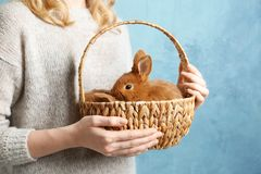 Girl holding small rabbits in wicker basket. On blue background Stock Photos