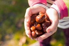Girl is holding some ripe chestnuts in her hands. After autumn harvest. Shallow depth of field, selective focus with nice bokeh Stock Photos